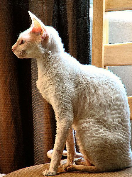 450px-White_Cornish_Rex
